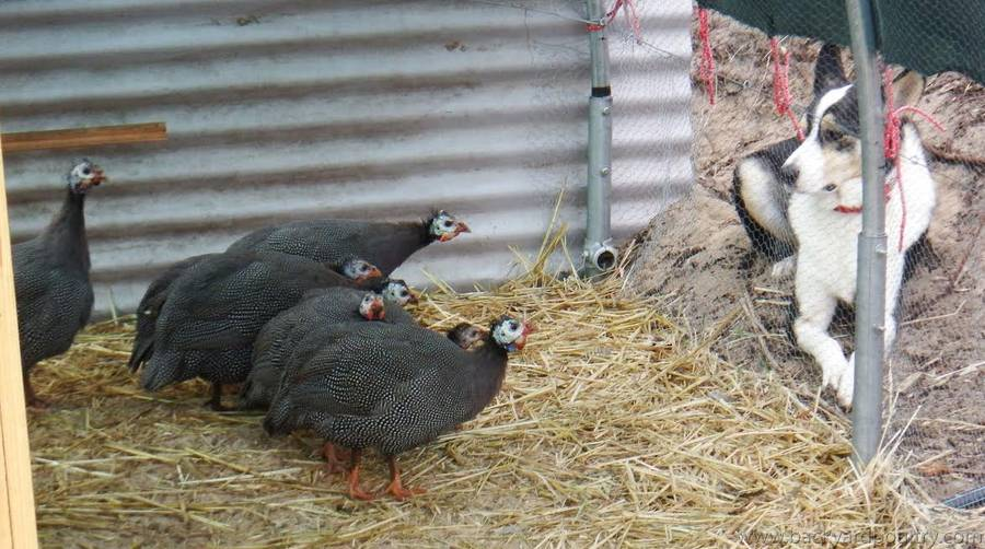 Guineas check out Badger