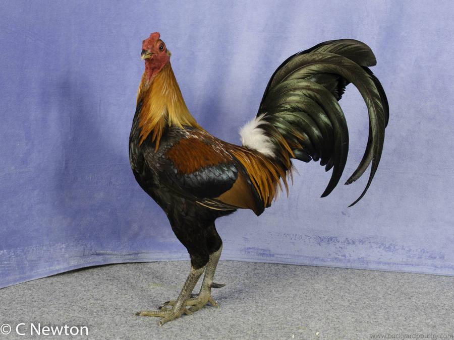 Reserve_Champion_HF_Large_OEG_-_Cock_by_Errol_Hetherington-1-21