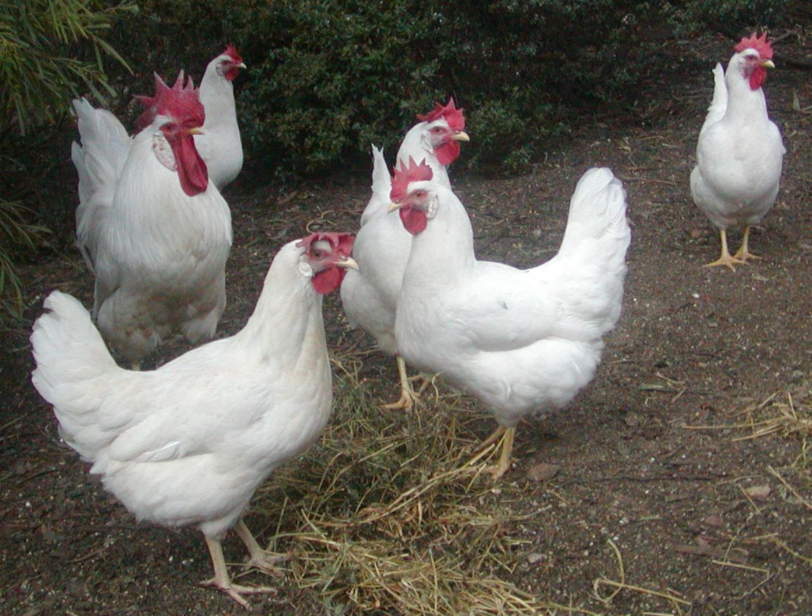 backyard poultry forum u2022 view topic breeding csiro strain or