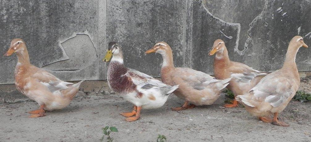 Backyard Poultry Forum • View topic - Saxony ducks